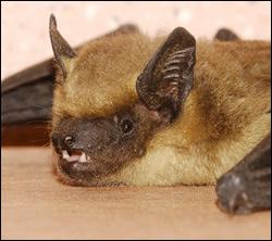 bat removal University Park