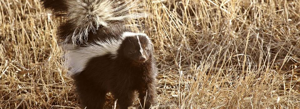 Friendswood skunk control