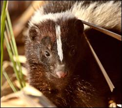 skunk removal University Park